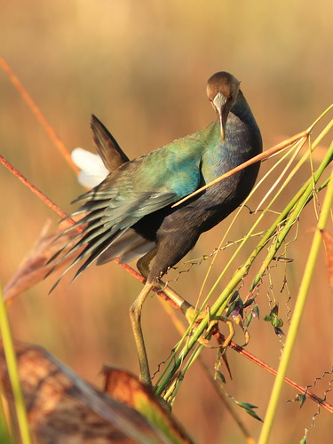 Purple Gallinule immature 03-20171225