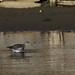 Redshank - Widewater (38)
