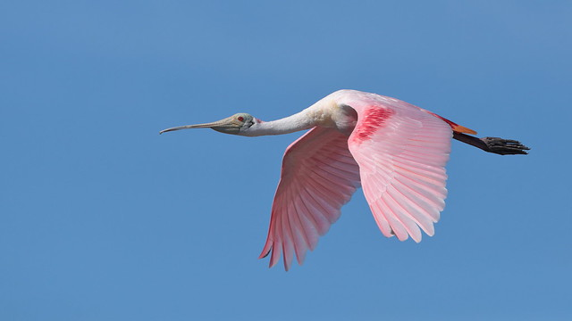 Roseate Spoonbill, Canon EOS 5D MARK IV, Canon EF 500mm f/4L IS II USM