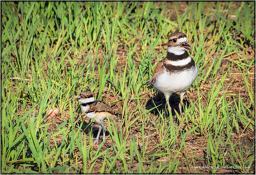 Killdeer & Just Hatched Chick