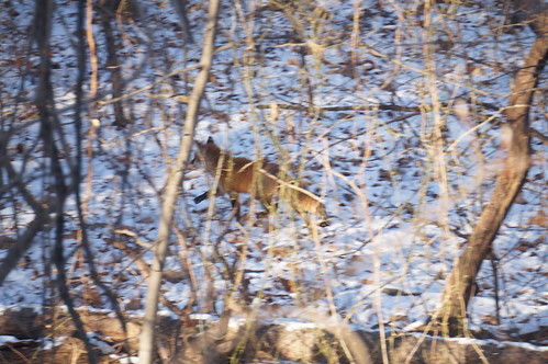 Fox in Snowy Wood