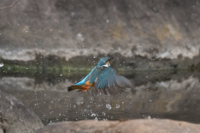 20180210-kingfisher-DSC_7942