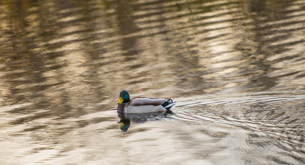 Ducks_4