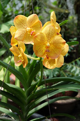 Yellow spotted vanda plant