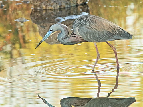 Tricolored Heron 03-20180306