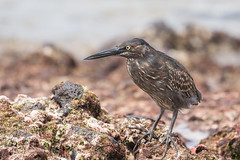 Striated Heron 500_3715.jpg