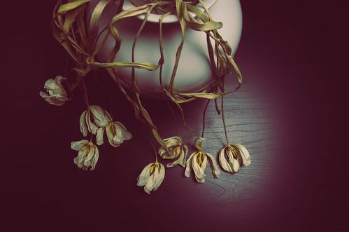 051 Tulips