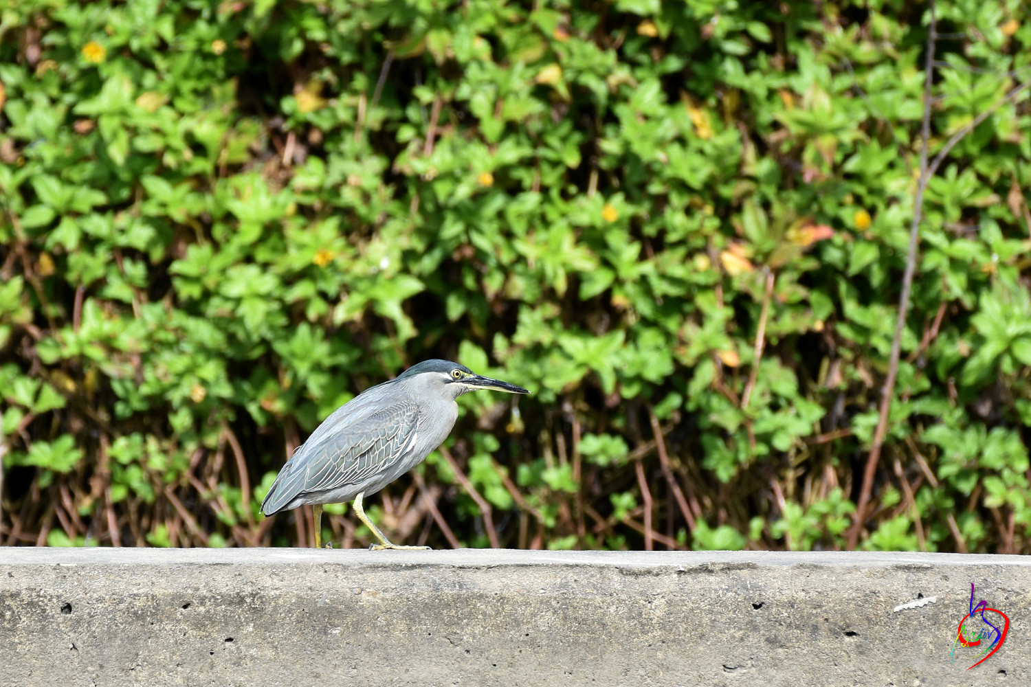 Striated_Heron_2126