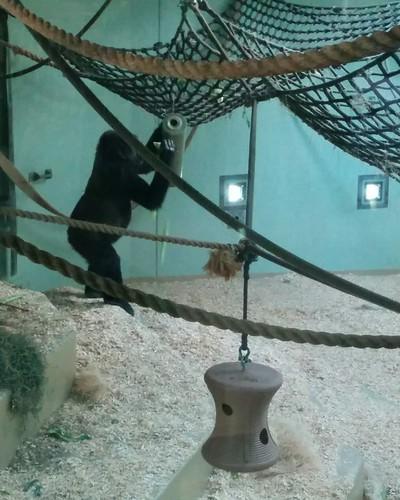 Gorilla (3) #toronto #torontozoo #mammal #gorilla #primate #latergram