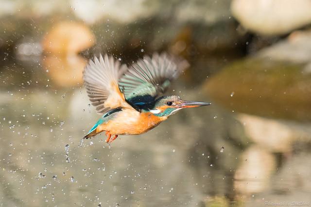 20180114-kingfisher-DSC_4535