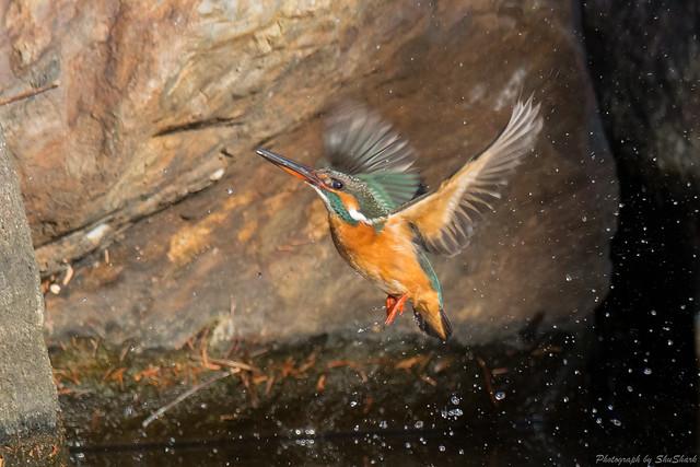 20180114-kingfisher-DSC_4416