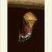 Danaus gilipus - Queen Butterfly por J. Amorin