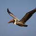 Pelican in flight., Pelecanus occidentalis por C.O'N