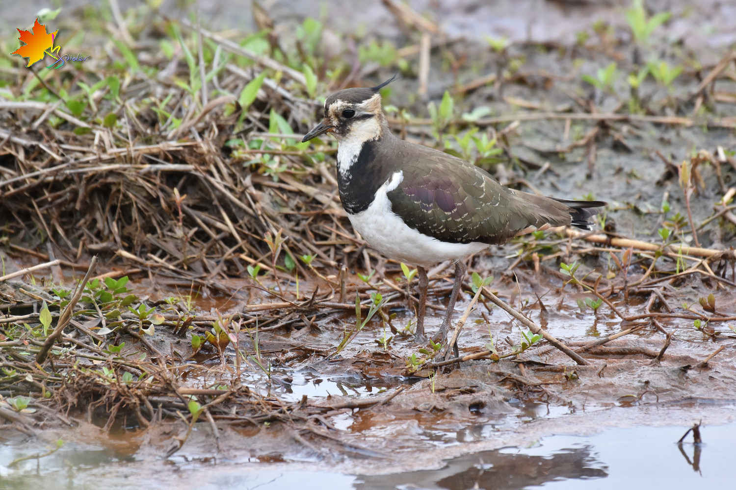 Northern_Lapwing_8583