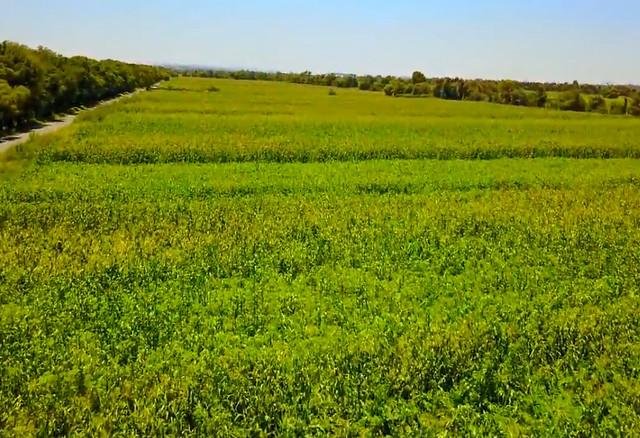 Campos de cultivo de maíz