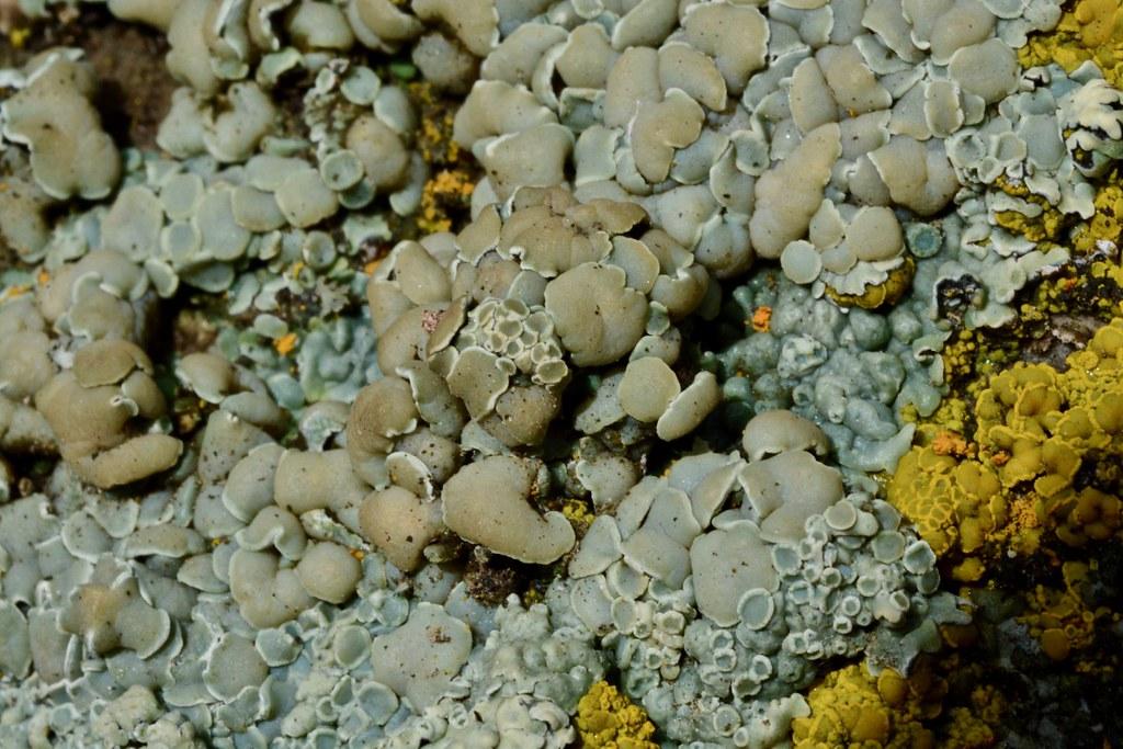 Lichens ~ Rhizoplaca melanophthalma?