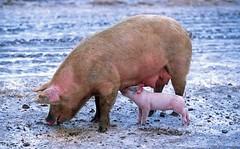 В Лиозненском районе израильская компания построит свиноводческий репродуктор