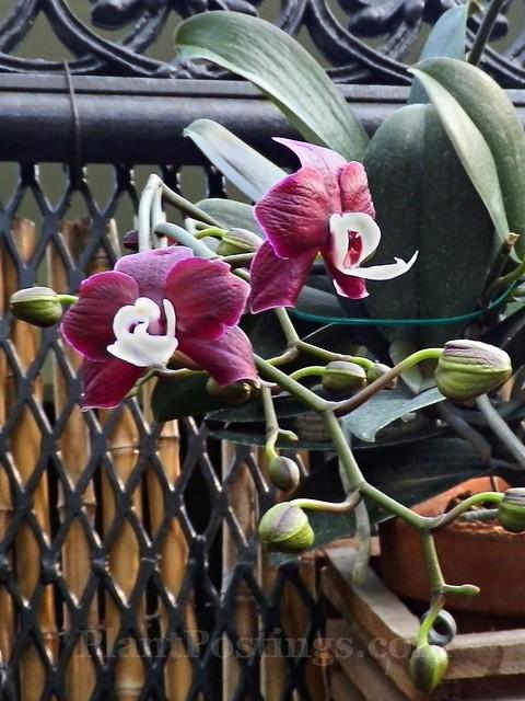 orchid phal kaoda