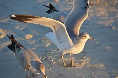 Sea_Gulls_XII