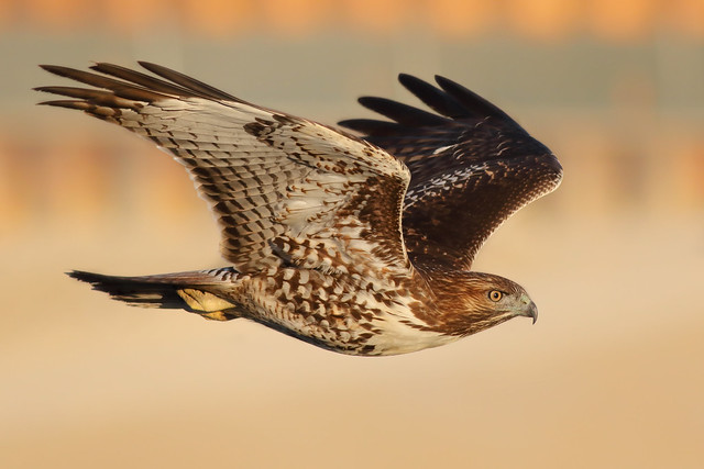 A Determined Hawk