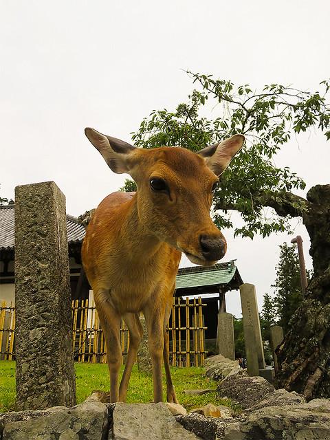 IMG_6641  Deer @Nara park Japan