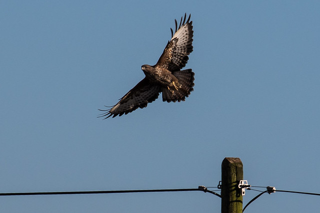 Buzzard (Buteo buteo), Canon EOS 7D MARK II, Canon EF 70-300mm f/4-5.6L IS USM