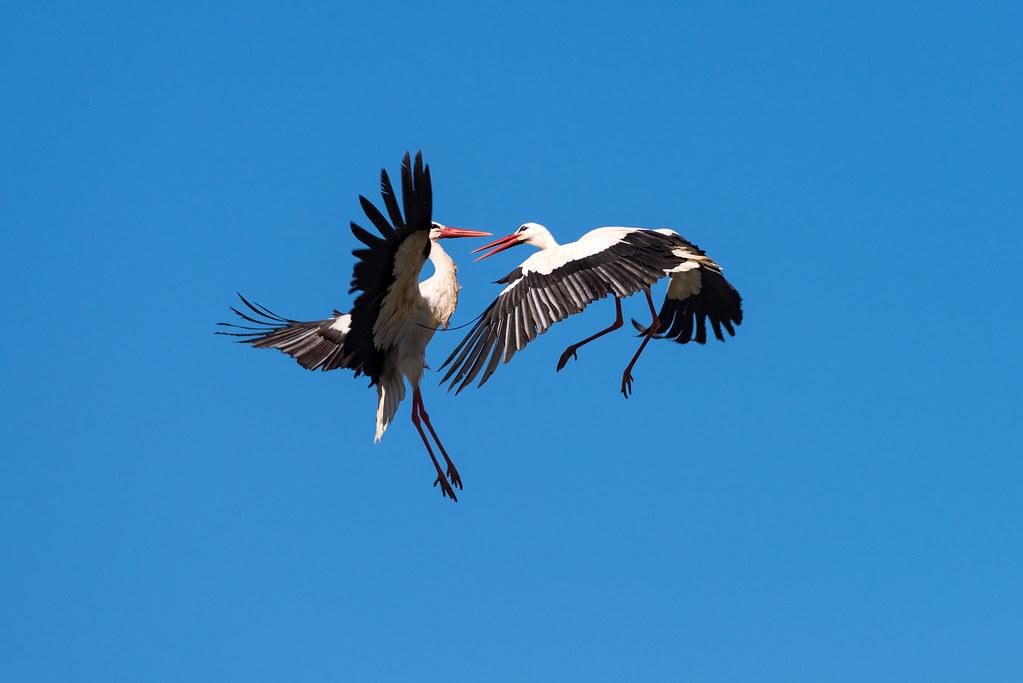 White Storks Fighting (Shot 3 of 11)