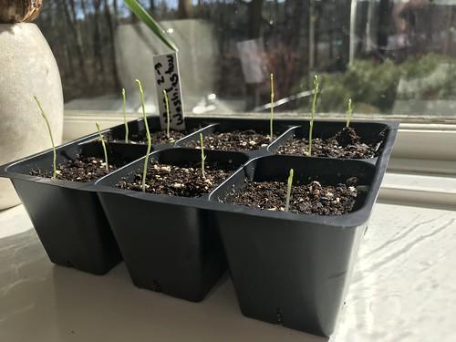 asparagus seedlings IMG_1698
