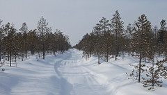 The snowmobile path in treed bog