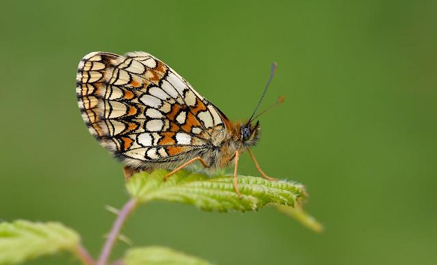 Heath Fritillary (Melitaea athalia).