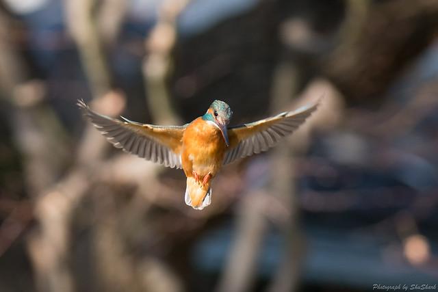 20180127-kingfisher-DSC_6040