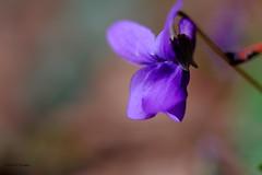 Courbes de violette