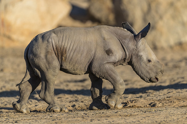 Cute and Curious 9-day-old Southern White Rhino Explores Habitat