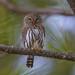 Northern Pygmy Owl by Khanh B. Tran