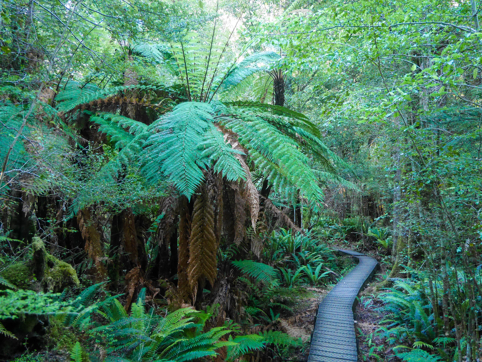 Tree ferns and boardwalks
