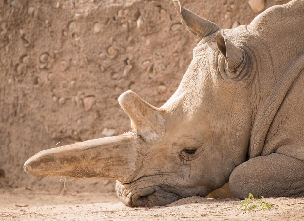 Rhino_4