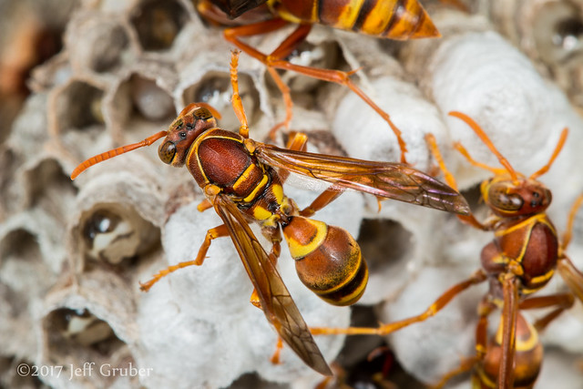 Paper Wasps