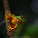 the dainty tree frog.. by Rob Valentic - Gondwana Reptile Productions