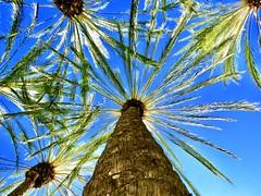 Climbing the Palm Tree