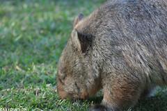 Wombat, Southwest National Park
