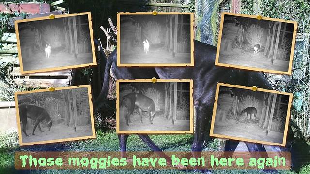 Moggies