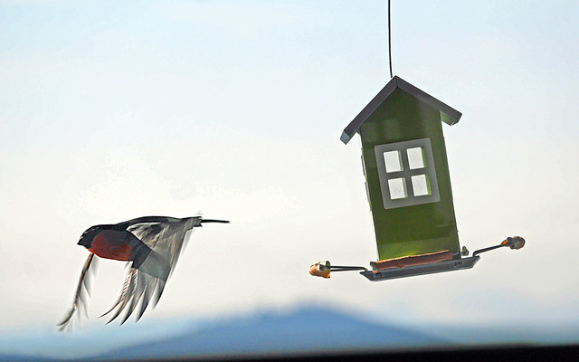 Gimpel beim Abflug von einem Vogelhäuschen