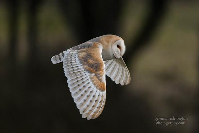 Juvenile Barn Owl in Flight