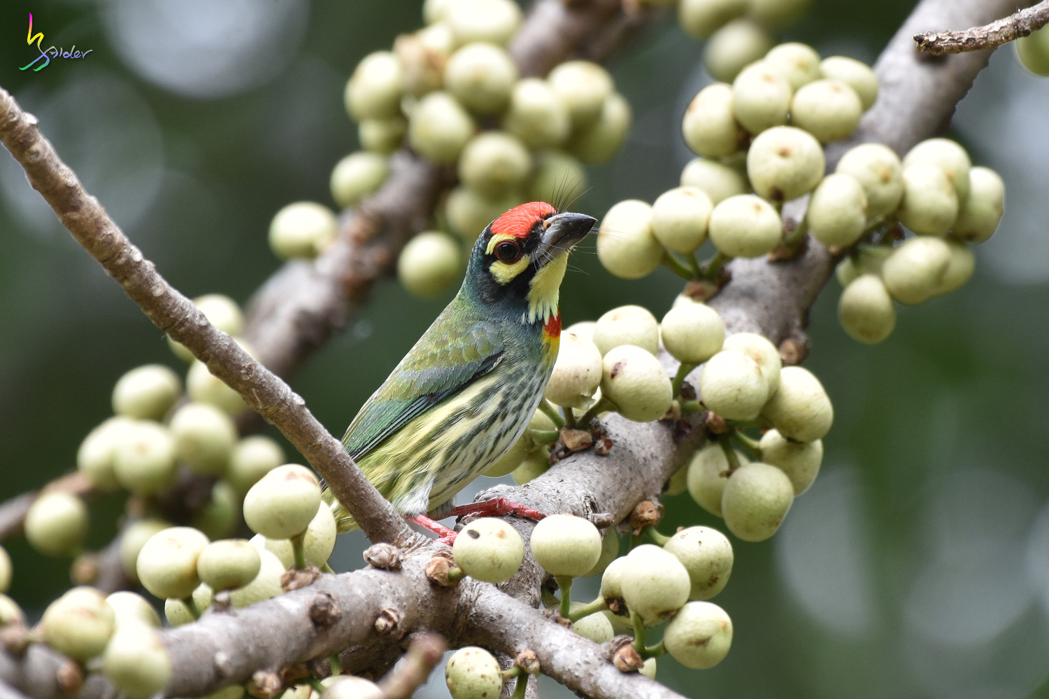Coppersmith_Barbet_1973