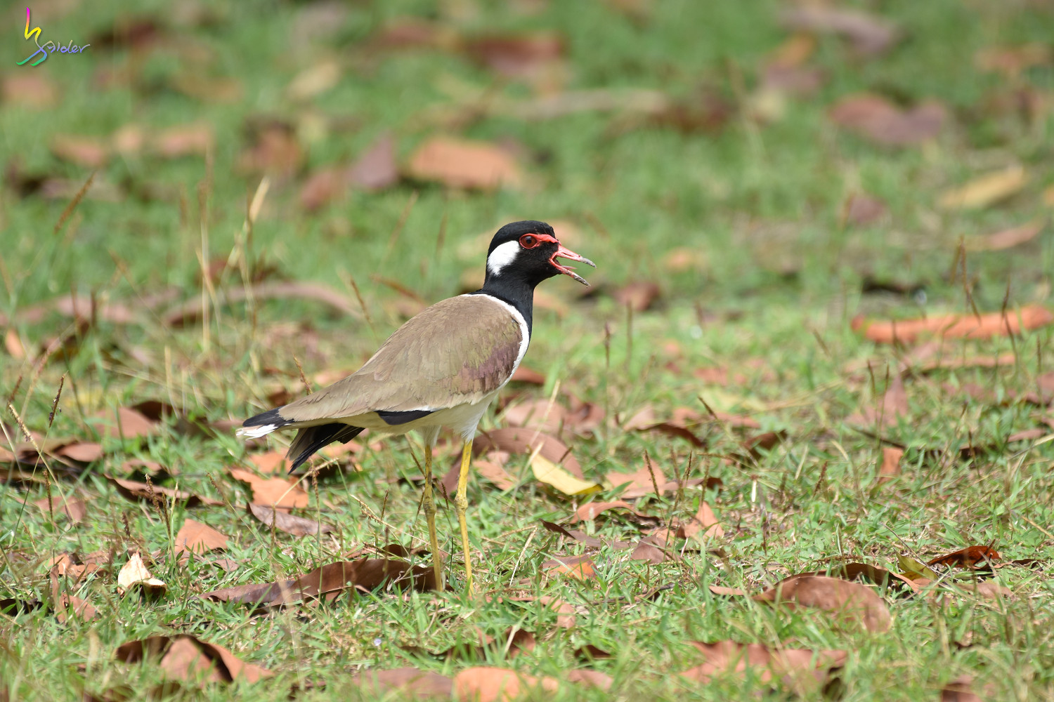 Red-wattled_Lapwing_1479