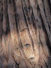 Big Basin Redwoods State Park, CA, Redwood Tree Bark