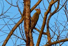 Streak-throated Woodpecker - Male - Corbett NP