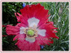 Papaver somniferum (Opium Poppy, Breadseed Poppy, Common Poppy, Fringed Poppy)