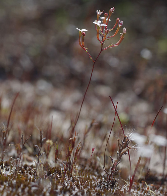 Stylidium guttatum and Quinetia urvillei, Jandakot Regional Park, near Perth, WA, 31/10/17