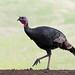 A Real Turkey Trot by Ingrid Taylar